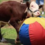 La storia del vitello Dudley, torello fortunato