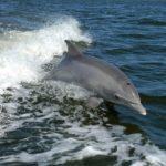 Delfino spiaggiato, un agente lo salva trascinandolo al largo