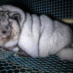 """Fur Free. Prada: """"Mai più pellicce animali"""""""
