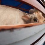 """Ministero della Salute: """"Sopra i 30° stop ai trasporti di animali"""""""