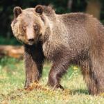 Orso M49, la Provincia di Bolzano vuole catturarlo