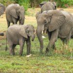 Dagli elefanti al corallo, dalla Cites sì a linea protezionistica