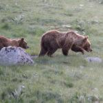 Un progetto Ue per migliorare le convivenza uomo-orso
