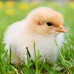 Respeggt, l'uovo prodotto senza uccidere i pulcini maschi