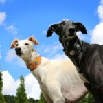 """Pet levrieri"" salva e affida galgo, greyhound e lurcher"