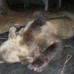 Uccisione orsa KJ2, il gip manda a processo i responsabili