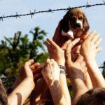 E' morta Vita, la beagle simbolo della lotta contro Green Hill