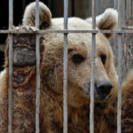 Cattura dell'orso M49, Oipa chiede l'accesso agli atti