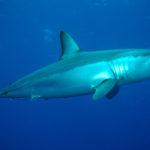 Raro squalo mako ucciso dalle reti nel mare di Catania