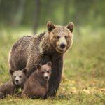 Stop dal Tar alla cattura dell'orsa JJ4. Per ora resta libera