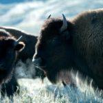 In Gran Bretagna sta per tornare il bisonte
