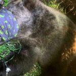 """Catturato un altro orso. Oipa: """"Life Ursus  fallito"""""""