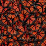La migrazione delle farfalle monarca