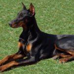 Taglia coda e orecchie al cane, condannato a 8 mesi