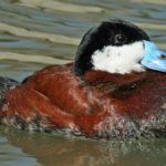 Lista rossa degli uccelli in Italia. 67 specie a rischio estinzione